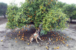 In this February 2017 photo provided by the United States Department of Agriculture, detector canine 'Szaboles' works in a citrus orchard in California searching for citrus greening disease, a bacteria that is spread by a tiny insect that feeds on citrus trees. (Tim R. Gottwald/USDA via AP)