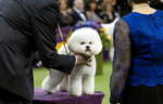 Handler Bill McFadden works with Flynn, a bichon frise, before Flynn was named Best in Show at the 142nd Westminster Kennel Club Dog Show, Tuesday, Feb. 13, 2018, at Madison Square Garden in New York. (AP Photo/Craig Ruttle)