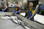 In this photo taken Monday, July 22, 2019, Cooper Campbell, right, with the California Department of Fish and Wildlife, looks for chinook salmon that are from their hatchery project at Fisherman's Wharf in San Francisco. California fishermen are reporting one of the best salmon fishing seasons in more than a decade, thanks to heavy rain and snow that ended the state's historic drought. It's a sharp reversal for chinook salmon, also known as king salmon, an iconic fish that helps sustain many Pacific Coast fishing communities. (AP Photo/Eric Risberg)