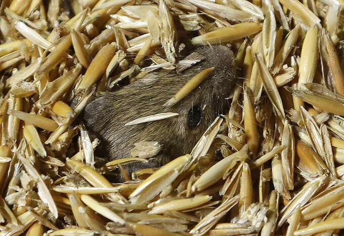 """A mouse pokes his nose out while hiding in stored grain on a farm near Tottenham, Australia on May 19, 2021. Vast tracts of land in Australia's New South Wales state are being threatened by a mouse plague that the state government describes as """"absolutely unprecedented."""" Just how many millions of rodents have infested the agricultural plains across the state is guesswork. (AP Photo/Rick Rycroft)"""