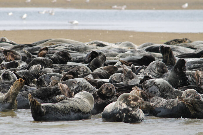 In this July 11, 2019 photo provided by Erin Minichiello, a herd of seals rest on a sandbar in Chatham Harbor in Chatham, Mass. Peter Howell, a founder of the Seal Action Committee, said Wednesday, July 17, that the Nantucket-based group wants Congress to amend the federal Marine Mammal Protection Act so that seals and other species can be removed from the law's list of protected animals if their populations have sufficiently rebounded. The call comes as the region's seal population has been blamed for drawing droves of great white sharks, which feed on them, in recent years. (Erin Minichiello via AP)