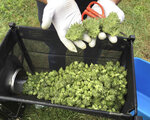 FILE - In this Sept. 30, 2016 file photo, a marijuana harvester examines buds going through a trimming machine near Corvallis, Ore. A federal judge in Oregon has ruled that a racketeering lawsuit brought by a vineyard against a neighboring marijuana operation can go forward despite attempts to have it dismissed, a ruling that could increase the odds for vineyards and other agricultural businesses that have so far pursued large cannabis farms in their backyards with limited success. (AP Photo/Andrew Selsky, File)
