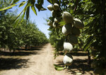 In this Friday June 21, 2019 photo, almonds hang on the branches of an almond tree in an orchard in Modesto, Calif. India has imposed tariffs on almonds and over two dozen other products including apples and walnuts as retaliation for the Trump administration revoking India's preferential trade privileges. The tariffs took effect Sunday, June 16.( AP Photo/Rich Pedroncelli)