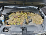 This Monday, Oct. 7, 2019, photo provided by Holly and Chris Persic shows walnuts and grass under the hood of their SUV, in the Pittsburgh area. It turns out squirrels stored more than 200 walnuts under the hood of the car. Holly discovered the walnuts and grass when she popped the hood after going to start the car and the vehicle smelled like it was burning. (Holly Persic/Chris Persic via AP)