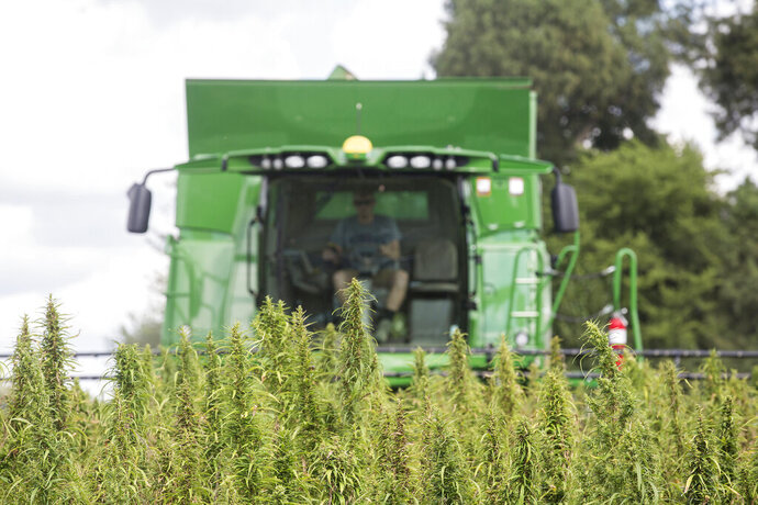 FILE - In this Aug. 16, 2017 file photo, a Calloway, Ky., County farmer, harvests hemp at Murray State University's West Farm in Murray, Ky. Kentucky's resurgent hemp sector flexed more economic clout in 2018, with processors reporting sharply higher sales and farmers reaping more than twice as much income from their crop, the state's agriculture commissioner said Monday, March 18, 2019. (Ryan Hermens/The Paducah Sun via AP, File)