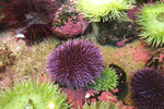 In Oct. 16, 2019 photo, a purple sea urchin sits in a touch tank at the Marine Hatfield Science Center in Newport, Ore. Tens of millions of voracious purple sea urchins that have already chomped their way through towering underwater kelp forests in California are now spreading north to Oregon, sending the delicate marine ecosystem off the shore into such disarray that other critical species are starving to death. A recent count found 350 million purple sea urchins on one reef in Oregon alone, a more than 10,000% increase since 2014 and in northern California, 90% of the giant kelp forests have been devoured by the urchins, perhaps never to return. (AP Photo/Gillian Flaccus)