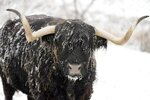 Snow collects on Coal, a highland steer belonging to David Wilson, in Lanesborough, Mass., Tuesday, Nov. 12, 2019. Snow and cold records fell from the Plains to the Great Lakes and beyond as an arctic airmass that started in Siberia spilled over a big chunk of the eastern half of the U.S., including the normally mild South, on Tuesday. (Beb Garver/The Berkshire Eagle via AP)