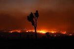 The Bobcat Fire burns in the distance beyond a Joshua tree Saturday, Sept. 19, 2020, in Juniper Hills, Calif. (AP Photo/Marcio Jose Sanchez)