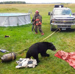In this Sept. 7, 2018, photo provided by Dawn Knutson, rescue personnel stand back after working to free a black bear after its head became stuck inside 10-gallon milk can near Roseau, Minn. (Dawn Knutson via AP)