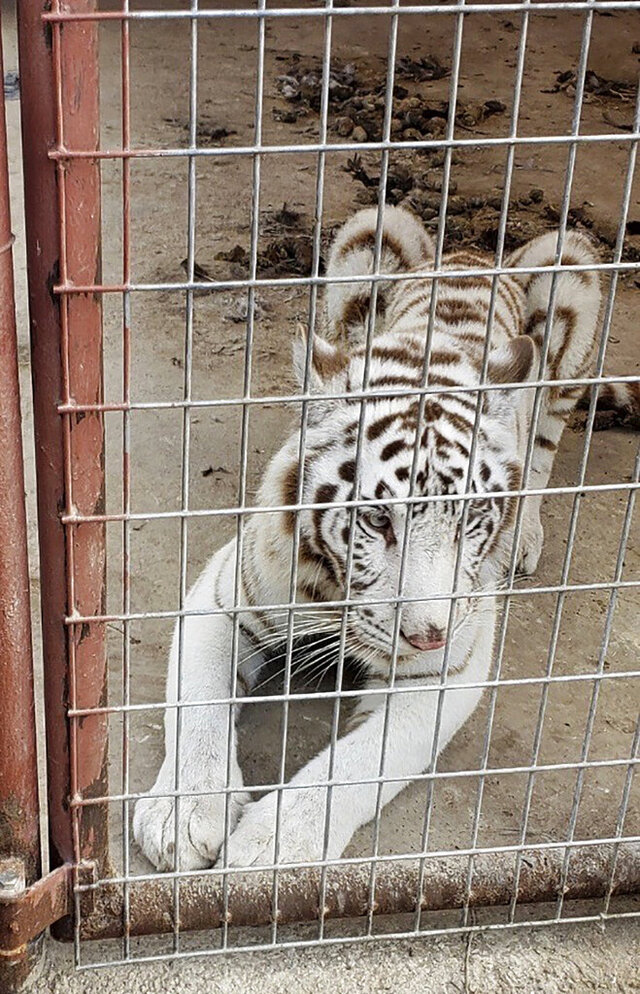 In this March 25, 2020, photo, provided by U.S. Customs and Border Protection, a Bengal tiger is shown. Authorities seized animals including a white Bengal tiger, bobcat, kinkajou, porcupines, llamas, emus and deer after finding them at a residence near Mercedes, Texas, while executing a search warrant last week. (U.S. Customs and Border Protection via AP)