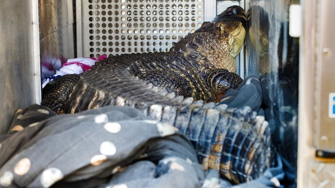 A 6-foot-long, 150-pound alligator is seen Wednesday, Nov. 7, 2018. The alligator, named Catfish, was found in a hot tub by a landlord evicting a tenant in Kansas City, Mo. The tenant, Sean Casey, described the alligator, named Catfish, as