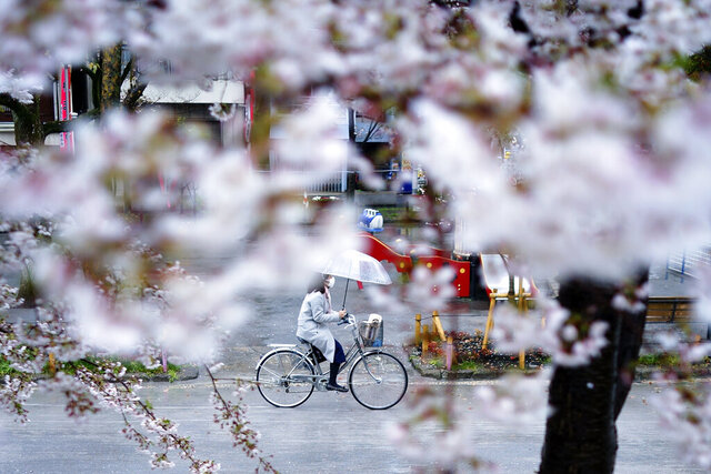 A woman wearing a protective face mask to help stop the spread of the coronavirus rides a bicycle past blooming cherry blossom trees Wednesday, April 1, 2020, in Tokyo. The new coronavirus causes mild or moderate symptoms for most people, but for some, especially older adults and people with existing health problems, it can cause more severe illness or death. (AP Photo/Eugene Hoshiko)