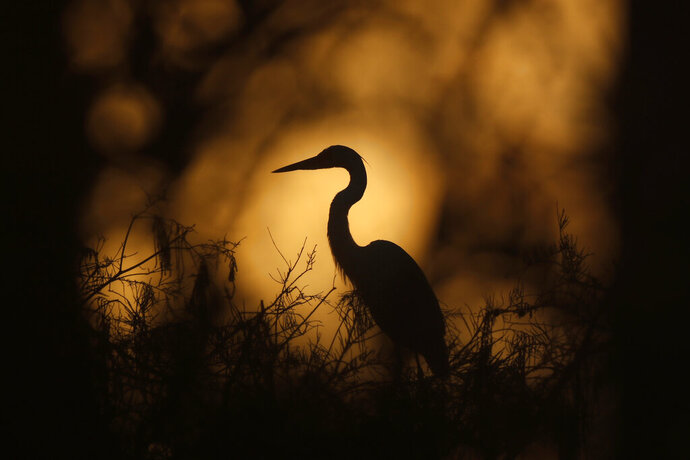In this Friday, Oct. 18, 2019 photo, a great egret is seen on top of a tree at dawn in Everglades National Park, near Flamingo, Fla. (AP Photo/Robert F. Bukaty)