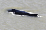 In this photo provided by the Northern Territory Government, a humpback whale swims in the East Alligator River in the Kakadu National Park in Australia's Northern Territory,  on Sept. 10, 2020. Whales have never been seen before in the East Alligator River in the Northern Territory's World Heritage-listed Kakadu National Park and no one can explain why at least three of the blue water mammals ventured so deep inland in a river with almost zero visibility. (Northern Territory Government via AP)
