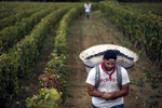 FILE - In this photo taken on Sept.12 2017, a worker carries red grapes in a burgundy vineyard during the grape harvest season, in Volnay, central France. Speaking at China International Import Expo, French President Emmanuel Macron announced an agreement between the European Union and China about the mutual protection of food and alcohol products, to be formally signed on Wednesday. Amid 26 protected French products are the Champagne, wines including those from Bordeaux and Burgundy regions, Cognac liquor and some cheeses like Roquefort. (AP Photo/Laurent Cipriani)