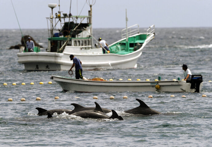 FILE - In this Sept. 2, 2010, file photo, fishermen drive bottle-nose dolphins into a net during their annual hunt off Taiji, Wakayama Prefecture, Japan. A court in central Japan on Friday, May 17, 2019 is hearing arguments over whether dolphin hunting violates the nation's animal cruelty laws. (Kyodo News via AP, File)