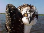 This 2017 photo from a U.S. Fish and Wildlife Service motion-activated camera shows an osprey poses at the Back Bay National Wildlife Refuge in Virginia. Motion-detecting wildlife cameras are yielding serious science as well as amusing photos. From ocelots in the desert to snow-loving lynx high in the Northern Rockies, remote cameras are exposing elusive creatures like never before. (U.S. Fish and Wildlife Service via AP)