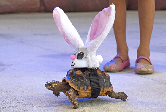 In this Wednesday, Oct. 23, 2019, photo provided by the Florida Keys News Bureau, Donna the tortoise crawls on the Fantasy Fest Pet Masquerade stage in Key West, Fla., costumed as characters from the classic fable