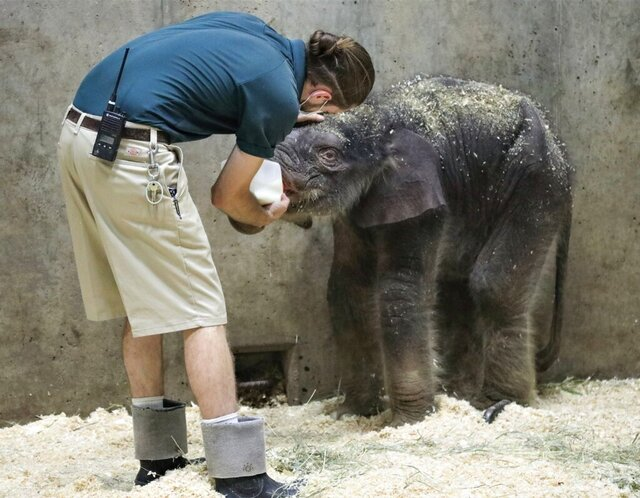 A zoo keeper feeds an elephant calf born July 6, 2020 in a photo provided by the Saint Louis Zoo. The baby elephant has died several weeks after it was born at the St. Louis Zoo. Zoo officials say the Asian elephant calf named Avi was euthanized Sunday, Aug. 3, 2020 because he had developmental problems that limited his ability to feed.( Joshua Sydney-Smith/Saint Louis Zoo via AP)