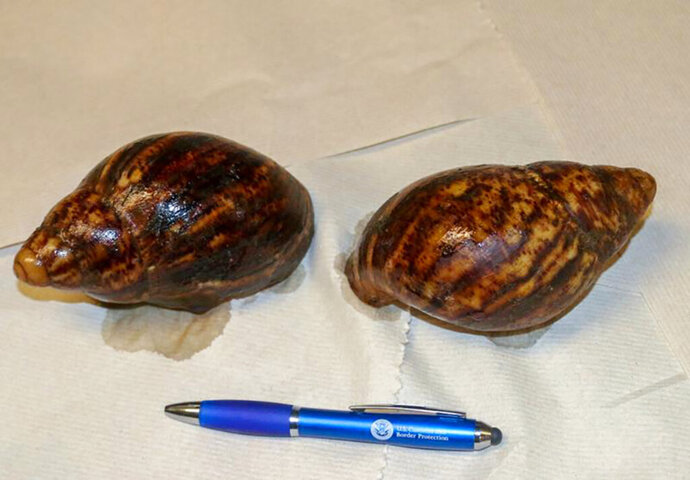 "This photo provided by U.S. Customs and Border Protection shows two Giant African Snails that were seized at Hartsfield-Jackson Atlanta International Airport. Two dogs, part of the U.S. Customs and Border Protection's ""beagle brigade,"" sniffed out the two Giant African Snails in the luggage of a passenger arriving at Atlanta's airport from Nigeria.    (U.S. Customs and Border Protection via AP)"
