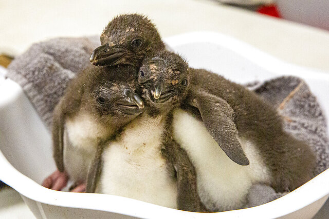 In this undated photo provided by the Kansas City Zoo, three Macaroni penguin chicks are cared for just days after their birth at the zoo in Kansas City, Kansas. For the first time in the zoo's 110-year history, the zoo is home to Macaroni penguins from eggs provided by SeaWorld San Diego, that hatched eight fluffy chicks in incubators. (Kansas City Zoo via AP)