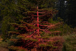 A tree is covered in fire retardant as fire crews continue to battle the Caldor Fire in South Lake Tahoe, Calif., Friday, Sept. 3, 2021. Fire crews took advantage of decreasing winds to battle a California wildfire near popular Lake Tahoe and were even able to allow some people back to their homes but dry weather and a weekend warming trend meant the battle was far from over. (AP Photo/Jae C. Hong)