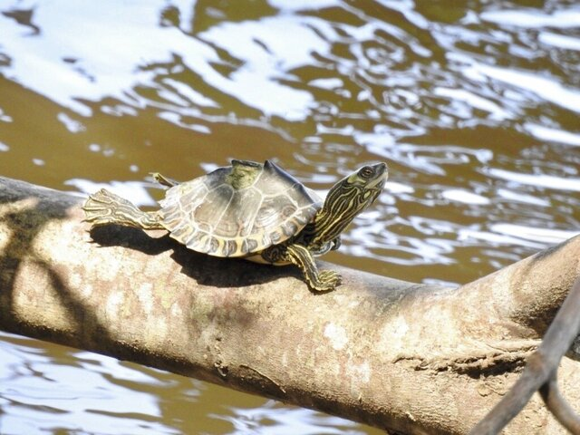 This undated photo provided by the Center for Biological Diversity shows a Pascagoula map turtle. Two environmental groups have sued the Trump administration, saying it has failed to protect map turtles found in Mississippi and Louisiana under the Endangered Species Act.   (Grover Brown/Center for Biological Diversity via AP)