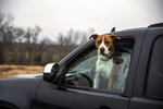 "Lindsay Terwilliger's pit bull, Dallas, pokes his head out of the window of her car at her farm in Elon, Va. on Thursday, Dec. 17, 2020. Terwilliger, who has been fostering and rescuing animals for 15 years, said animals have a tendency to ""choose"" their owners, which she believes all of her animals have done with her. (Kendall Warner/The News & Advance via AP)"