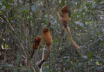 Golden Lion Tamarins hold on to trees in the Atlantic Forest region of Silva Jardim in Rio de Janeiro state, Brazil, Thursday, Aug. 6, 2020. A recently built eco-corridor will allow these primates to safely cross a nearby busy interstate highway bisecting one of the last Atlantic coast rainforest reserves. (AP Photo/Silvia Izquierdo)