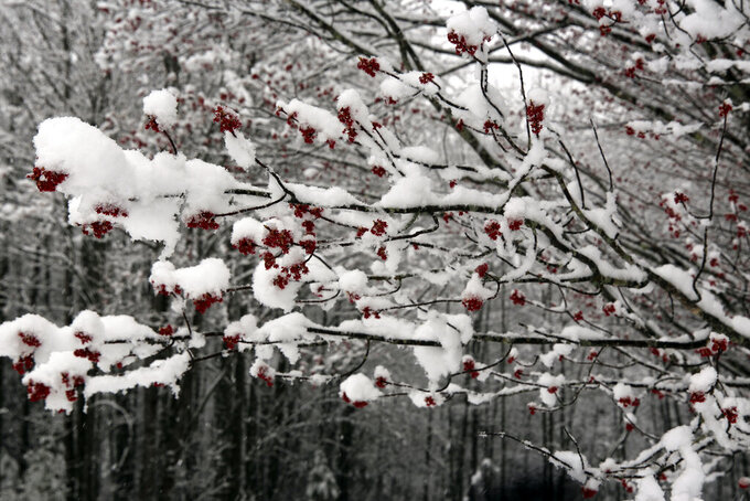 Snow covers new leaves sprouting out of a maple tree in Marshfield, Vt., on Friday, April 16, 2021. A spring storm brought snow, rain and the threat of power outages to New England and northern New York. (AP Photo/Lisa Rathke)