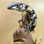 This undated photo provided by the Long Beach, Calif., Police Department shows one of two unique Australian monitor lizards that were stolen from a reptile shop in November 2019. The Long Beach Police Department has announced two arrests in the case and the return of the lizards, which can grow to be more than 6 feet (1.83 meters) long and are valued together at $75,000. (Long Beach Police Department via AP)