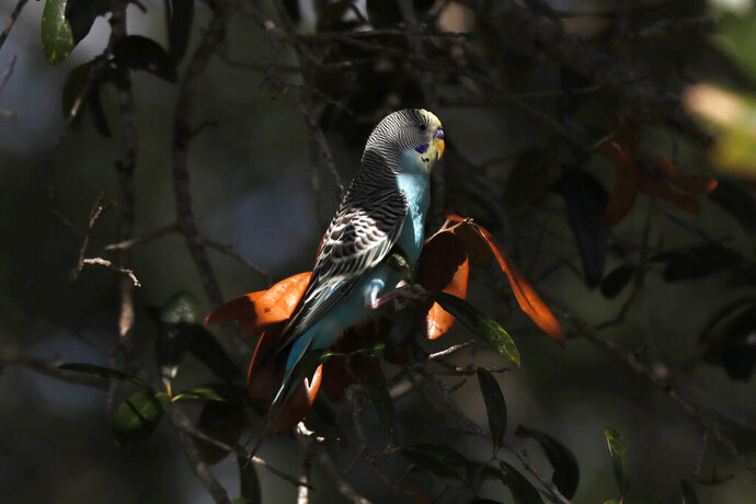 In this Friday, Oct. 25, 2019 photo, a yellow faced budgie, rests in a tree at the Wild Turkey Preserve Strand near Fort Myers, Fla. The non-native bird is one several species now living in the wild after being released by pet owners. (AP Photo/Robert F. Bukaty)