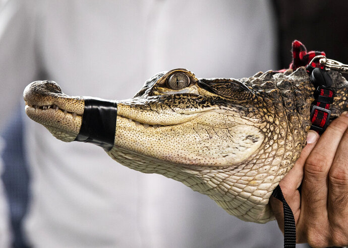 Florida alligator expert Frank Robb holds an alligator during a news conference, Tuesday, July 16, 2019, in Chicago. Robb captured the elusive alligator in a public lagoon at Humboldt Park early Tuesday. (Ashlee Rezin/Chicago Sun-Times via AP)