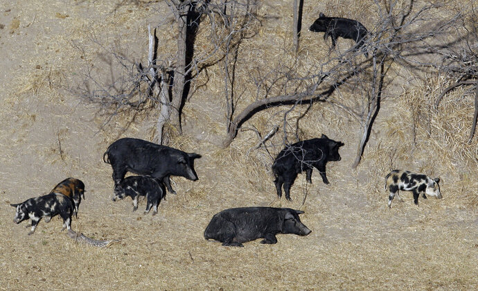 FILE - In this Feb. 18, 2009 file photo, feral pigs roam near a Mertzon, Texas ranch. State and federal officials in Montana are marshaling their resources to keep encroaching feral pigs from Canada at bay. Aerial photographs from last year show the population boom in Canada has brought the feral swine within five miles of the U.S. border, prompting Montana to organize a campaign it's calling