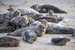 Part of a grey seal colony on the beach at Horsey Gap in Norfolk, England, Sunday Jan. 10, 2021.  A group monitoring the seals in the national park on England's east coast have recorded over 2000 seal births this season, with police patrolling the area to deter visitors during the current coronavirus lockdown. (Joe Giddens/PA via AP)