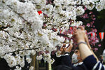 A man wearing a protective mask to help curb the spread of the coronavirus takes a photo under cherry blossoms Friday, March 26, 2021, in Tokyo. Cherry blossoms in many parts of Japan used to reach its prime in April just as the country celebrates the start of its new school and business year. Today, they bloom earlier in the spring and are mostly gone for the occasion, most likely because of the climate change.(AP Photo/Eugene Hoshiko)
