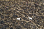 Cattle graze land cleared and burned by cattle farmers near Novo Progresso, Para state, Brazil, Sunday, Aug. 23, 2020. Under military command, Brazil's once-effective investigation and prosecution of illegal rainforest destruction by ranchers, farmers and miners has come to a virtual halt, even as this year's burning season is about to begin. (AP Photo/Andre Penner)
