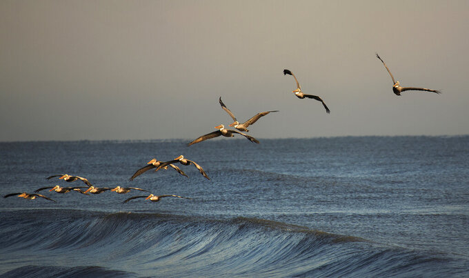 In this 2019 photo, a squadron of brown pelicans gliding over the ocean waves off Sandbridge beach in Virginia Beach, Va. Squadrons of brown pelicans glide over the ocean at Virginia Beach's North End on most summer mornings. Their pointy beaks and grayish-brown wings stand out against the blue horizon. They are latecomers to Virginia — breeding here was first documented in 1987 — and now they savor the state's fish-rich coastal waterways.(L. Todd Spencer/The Virginian-Pilot via AP)