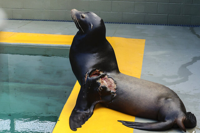 This Dec. 2, 2020, photo released by The Marine Mammal Center shows Jenya, a sea lion that was rehabilitated to treat a severe shark bite, domoic acid poisoning and malnutrition, at the center's hospital in Sausalito, Calif. The Marine Mammal Center said Monday, Dec. 28, 2020, that it had successfully released Jenya last week at Rodeo Beach in the Marin Headlands. (William D. Hunnewell/The Marine Mammal Center via AP)
