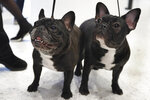 French bull dogs Violet, age 3, left, and Moxie, age 6 1/2 months. pose for photos at the Museum of the Dog, in New York, Wednesday, March 20, 2019. Labrador retrievers aren't letting go of their hold on U.S. dog lovers, while French bulldogs finished fourth in the top ranks of doggy popularity, according to new American Kennel Club data. (AP Photo/Richard Drew)