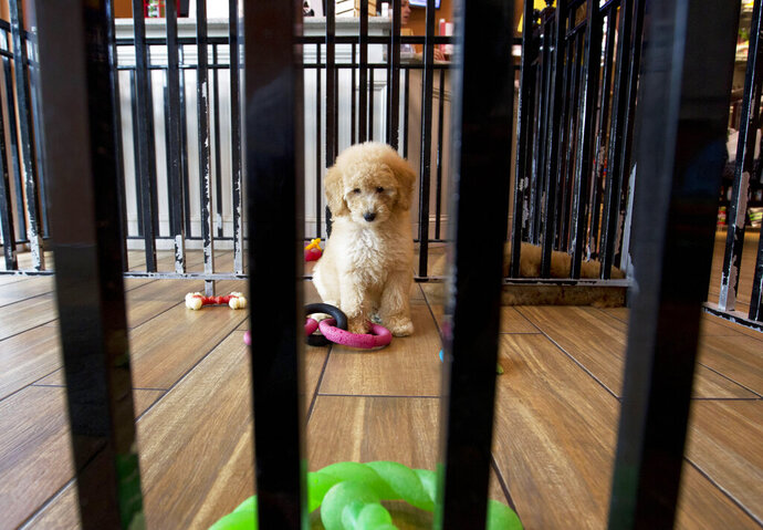 A puppy plays with toys at a pet store in Columbia, Md., Monday, Aug. 26, 2019. Pet stores are suing to block a Maryland law that will bar them from selling commercially bred dogs and cats, a measure billed as a check against unlicensed and substandard