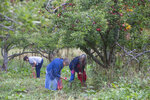 From left, Cathryn Smith,  Betty Sue Lowe and Rosa Lee Jackson glean apples in Boones Mill, Va. on Oct. 10, 2019.  Apples, some of them mushy but others perfectly fine, litter the ground and emit a sweet smell. The orchard is quiet on this gray morning, save for the occasional gentle shake of a branch, followed by the thud of apples hitting the ground. (Stephanie Klein-Davis/The Roanoke Times via AP)