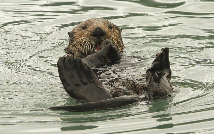 In this May 21, 2016 file photo, a northern sea otter floats on its back while crushing a clam shell with its teeth in the small boat harbor at Seward, Alaska. Sea otters, once wiped out by hunting along Alaska's Panhandle, have made a strong comeback and fishermen who target shellfish are seeking relief from their voracious appetites. Sea otters eat the equivalent of a quarter of their own weight each day. (AP Photo/Dan Joling, File)
