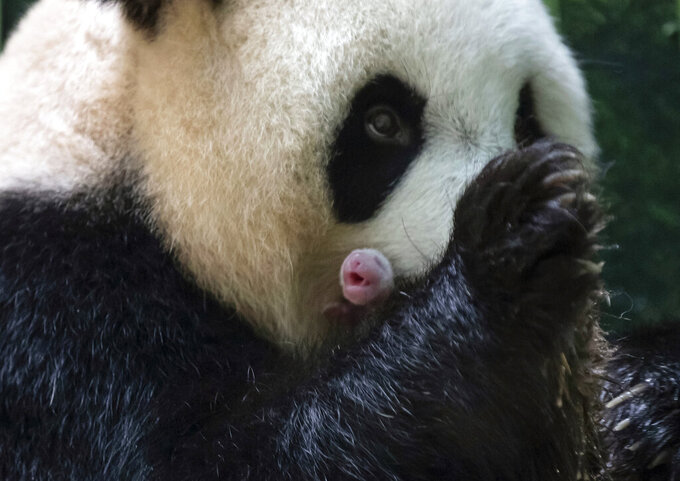 This handout photo released by the Beauval Zoo shows panda Huan Huan holding her new born female cub in Saint-Aignan, central France, Monday, Aug. 2, 2021. A giant panda on loan to France from China gave birth to two female twin cubs early Monday, a French zoo announced. The Beauval Zoo, south of Paris, said the twins were born shortly after 1 a.m. They weigh 149 and 129 grams (5.3 and 4.6 ounces). (Eric Baccega/Beauval Zoo via AP)