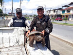 In this photo provided by Interpol on Wednesday July 10, 2019, Ecuador's Environmental Police officers hold a Snapping Turtle (Chelydra serpentina) during checkpoint inspections in Santo Domingo de los Tsachilas, Ecuador. The World Customs Organization and Interpol said they conducted 1,828 seizures across 109 countries in June and seized nearly 10,000 live turtles and tortoises, 23 live apes, 30 live big cats, hundreds of pieces of elephant tusk, half a ton of ivory and five rhino horns. (Interpol via AP)