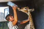 REPLACES HIS INSTEAD OF HER - FILE - In this Friday Nov 22, 2019 file photo,  Janie Van Heerden feeds Jazz, a nine-day-old giraffe at the Rhino orphanage in the Limpopo province of South Africa. Jazz, who was brought in after being abandoned by his mother at birth, died of brain hemorrhaging and hyphema it was announced Friday, Dec. 6, 2019. (AP Photo/Jerome Delay)
