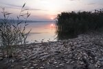 Dead fish lie on the shore of Koroneia Lake in northern Greece, on Thursday, Sept. 19, 2019. Tens of thousands of dead fish are washing up as the water level has plummeted to less than a meter deep (three feet) and the lack of oxygen in the water is leading to mass mortality of everything in it. (AP Photo/Giannis Papanikos)
