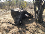 A dead elephant is seen in Hwange National park, Zimbabwe, Saturday, Aug. 29, 2020. A spokesman for Zimbabwe's national parks said on Wednesday, Sept. 2 the number of elephants dying in the country's west from a suspected bacterial infection, possibly from eating poisonous plants, has risen to 22 and more deaths are expected. (AP Photo)