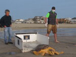 Tabitha, a 168-pound loggerhead turtle, crawls from her transport crate toward the ocean in Point Pleasant Beach, N.J. after being released Tuesday, Sept. 15, 2020, by Sea Turtle Recovery, a volunteer group that rescues sick or injured turtles, nurses them back to health and returns them to the ocean. Tabitha was stranded in Cape May, N.J. on June 27, 2019, where she was near death with numerous illnesses and an injury that most likely came from being struck by a large boat. (AP Photo/Wayne Parry)