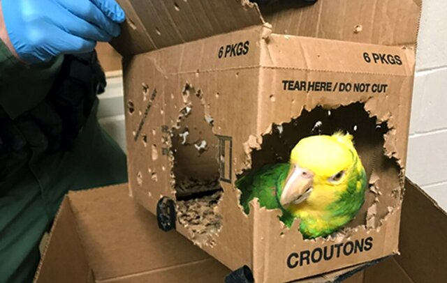 This Dec. 30, 2019, photo taken by a U.S. Customs and Border Protection agent and released by the U.S. Attorney's Office shows one of seven parrots allegedly smuggled into the United States at Derby Line, Vt. Jafet Rodriguez, of Pennsylvania, was arrested and is due in federal court Thursday, Feb. 13, 2020, in Burlington, Vt., to face charges he smuggled seven parrots into the United States by carrying them across the Quebec-Vermont border at Derby Line. (U.S. Attorney's Office via AP)